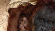 Baby Orangutan Born at Saint Louis Zoo