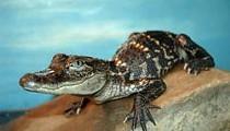 Kennett, MO, Goes Gator Hunting