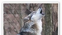 Endangered Wolf Center Reopens for the Season with Wine and Cheese Howl Tonight Among Other Summer Events