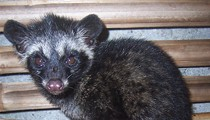 Kopi Luwak Made From Civet Poop Now Available at Cafe di Organo