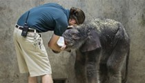 RIP Avi: Baby Elephant Dies After 27 Days in Saint Louis Zoo