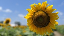 Eckert's Farm In Belleville Is Letting You Drink, Surrounded By Sunflowers
