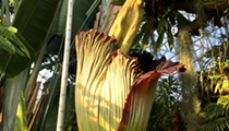 Rush To The Missouri Botanical Gardens, The Corpse Flower Is Blooming