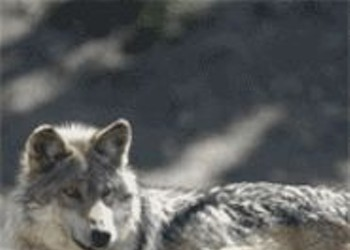 Where Do Wolf Babies Come From?