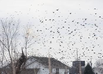 Birds Swarm St. Charles