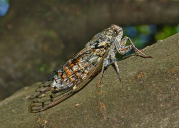 Cicada Cuisine: Six Ways to Cook the Critters