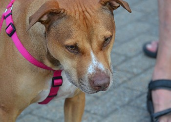 Florissant Pit Bull Ban Is Targeted by Activists