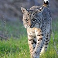 Bobcat Possibly Spotted in South St. Louis