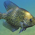 Life Is Crappie