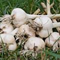 Garlic Is King