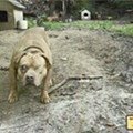 To pull off the biggest pit bull fighting bust in U.S. history, investigators went deep undercover. So did their dogs.