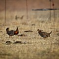 State conservationists scour the Kansas boondocks, aiming to repopulate Missouri with horny prairie chickens