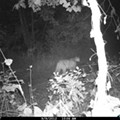 Another Mountain Lion Caught on Camera Last Week in Shannon County