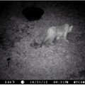 Another Mountain Lion Sighting - This Time Near Branson!