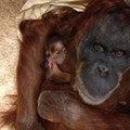 Baby Orangutan Born at Saint Louis Zoo
