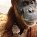 Cranberry, Marigold, Ginger or Lucy: Help Name Saint Louis Zoo's New Baby Orangutan