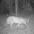 Mountain Lion Spotted in Northern Missouri, 13th Cougar Verified in Past Year