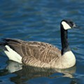 Missouri Man Charged with Killing Goose with Car, Backing Up, Hitting It Again [VIDEO]