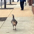 PHOTOS: Wild Turkey On The Loose in Downtown St. Louis