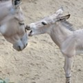 Big Ass News! Record Number of Somaili Wild Asses Born at St. Louis Zoo