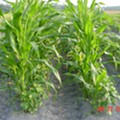 Organic Farmers Sue Monsanto Before Monsanto Sues Them