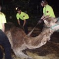 Who You Gonna Call When Your Camel Gets Stuck in the Mud?