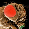 Weird Science: Wash U. Researchers Breed Insomniac Fruit Flies