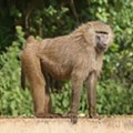 Baboon Makes Ass of St. Louis -- Now Updated