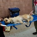 German Shepherd Sodomized, Shot and Left for Dead Gets Rescued, Adopted