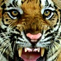 Mizzou Students Want Live Tiger at Games, But Where to Find Big Cats?