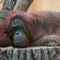 Study Confirms Orangutans Lazier Than the Laziest Human You Know
