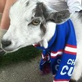 Forget the Rally Squirrel -- Wrigley the Goat is the Most Powerful Spirit Animal in Baseball