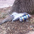 """Drunken Squirrel"" Passes Out in Benton Park"