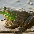 In-Froggin'-Credible! Top 5 Interesting Facts About Frogging Season
