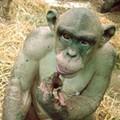 R.I.P. Cinder: Saint Louis Zoo Chimp Dies at Fourteen