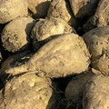 Monsanto Sugar Beets: Pull 'Em Out of the Ground, Says Federal Judge