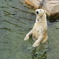 St. Louis Zoo Isn't Alone in Eyeing Kali the Orphaned Polar Bear for New Exhibit