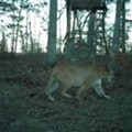 [PHOTO] Big Mountain Lion on the Prowl in Southeast Missouri