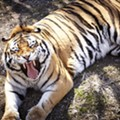 Group Demands Recognition of U. City Tiger