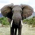 Elephants Stroll The City, Humane Officials Jog Along