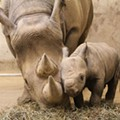 Totally Adorable Black Rhino Calf Born at Saint Louis Zoo