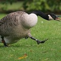 Canadian Geese Attack Police Officer in Shrewsbury