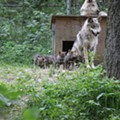 Arizona Wildfires Threaten Missouri-Raised Mexican Gray Wolves