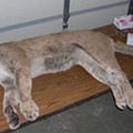 "Amish Hunters on ""Predator Hunt"" in Missouri Kill Mountain Lion, Won't Be Charged"