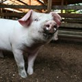 No, the FBI Didn't Bust a Hillbilly's Pig Brothel in Rolla on New Years Eve