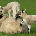 Stock Up on Local Lamb at the Southern Illinois Sheep Festival
