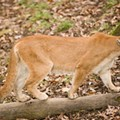 Female Mountain Lion Confirmed in Missouri — First in 23 Years