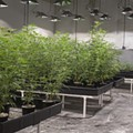 How Missouri Medical Marijuana Backers Learned from Illinois' Mistakes
