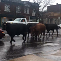There Are Cows Running Wild In North St. Louis Right Now