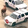 Runaway St. Louis Cow Saved from the Slaughterhouse